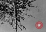 Image of Lumberjacks scaling tall trees Taiwan, 1950, second 8 stock footage video 65675069926