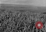 Image of sugarcane farm Hawaii USA, 1924, second 11 stock footage video 65675070223