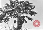 Image of papaya tree Hawaii USA, 1924, second 11 stock footage video 65675070225
