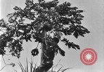 Image of papaya tree Hawaii USA, 1924, second 12 stock footage video 65675070225