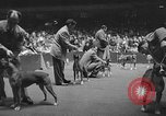 Image of dog show New York United States USA, 1952, second 9 stock footage video 65675070426