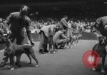 Image of dog show New York United States USA, 1952, second 11 stock footage video 65675070426