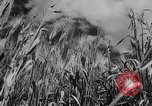 Image of wheat harvested by mule drawn combines United States USA, 1936, second 5 stock footage video 65675070601