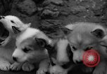 Image of sled dogs Wonalancet New Hampshire USA, 1939, second 28 stock footage video 65675070946