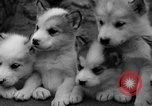 Image of sled dogs Wonalancet New Hampshire USA, 1939, second 30 stock footage video 65675070946