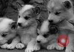 Image of sled dogs Wonalancet New Hampshire USA, 1939, second 31 stock footage video 65675070946