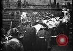 Image of Cattle to slaughter Chicago Illinois USA, 1897, second 9 stock footage video 65675071535