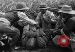 Image of pineapples Hawaii USA, 1916, second 12 stock footage video 65675071573