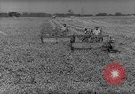 Image of pea crop New Jersey United States USA, 1946, second 6 stock footage video 65675072231