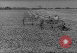 Image of pea crop New Jersey United States USA, 1946, second 7 stock footage video 65675072231