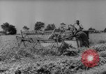 Image of pea crop New Jersey United States USA, 1946, second 10 stock footage video 65675072231