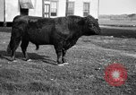 Image of cattle ranch United States USA, 1922, second 12 stock footage video 65675072785