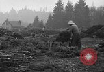 Image of Christmas tree harvest Shelton Washington USA, 1939, second 7 stock footage video 65675072846