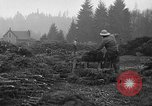 Image of Christmas tree harvest Shelton Washington USA, 1939, second 8 stock footage video 65675072846