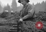 Image of Christmas tree harvest Shelton Washington USA, 1939, second 12 stock footage video 65675072846