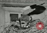 Image of storks Austria, 1957, second 12 stock footage video 65675077122