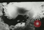 Image of Actinia Austria, 1957, second 11 stock footage video 65675077123