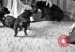 Image of puppies Berchtesgaden Germany, 1940, second 1 stock footage video 65675077772