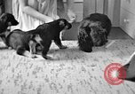 Image of puppies Berchtesgaden Germany, 1940, second 2 stock footage video 65675077772