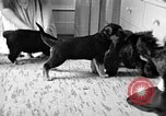 Image of puppies Berchtesgaden Germany, 1940, second 5 stock footage video 65675077772